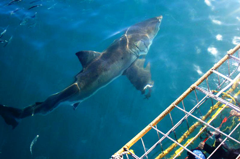 Full Day Great White Shark Cage Diving Thumbnail